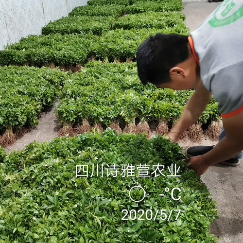 藤椒苗供应