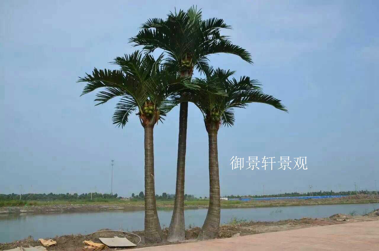 大型景观椰子树