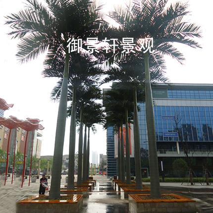 景观霸王椰树