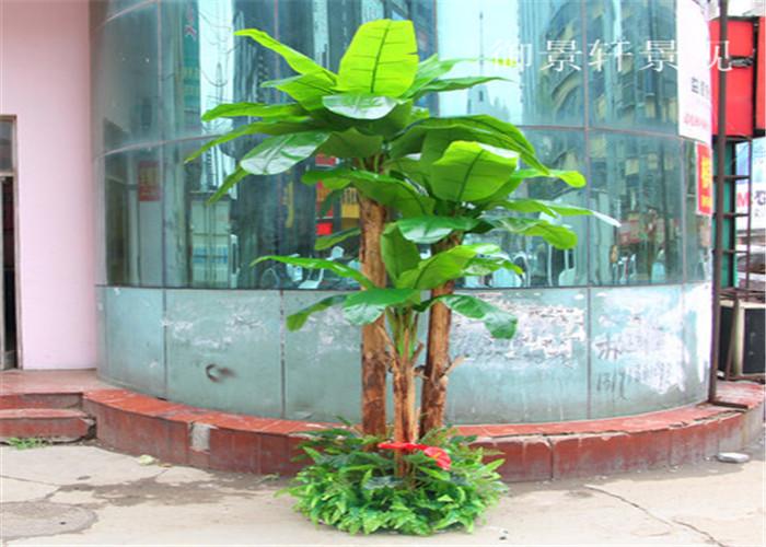 大型景观芭蕉树