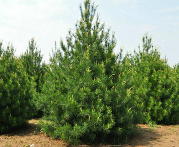 白皮松树体形成,花芽分化占决定因素