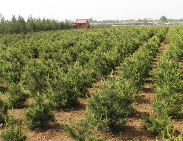 白皮松小苗如何进行精细化管理保证白皮松树苗的成活率