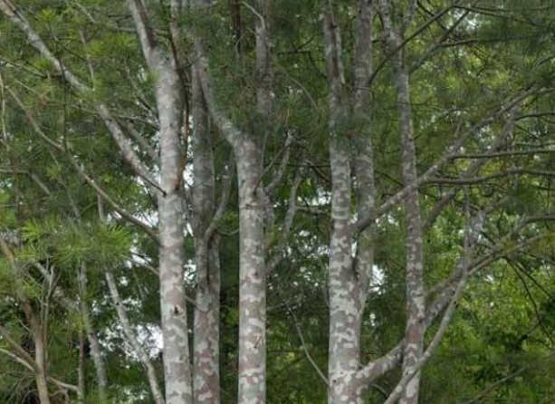 蓝田白皮松基地-白皮松的主要病虫害及防治措施