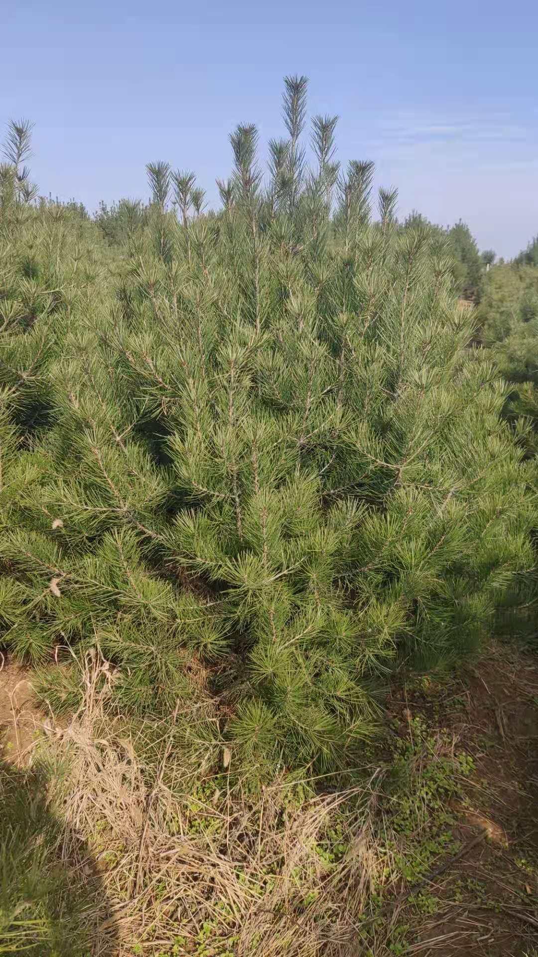 白皮松基地苗大规格使用除草剂注意事项