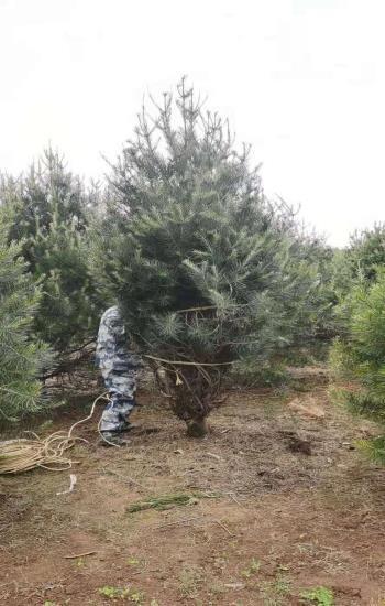 2米白皮松苗木