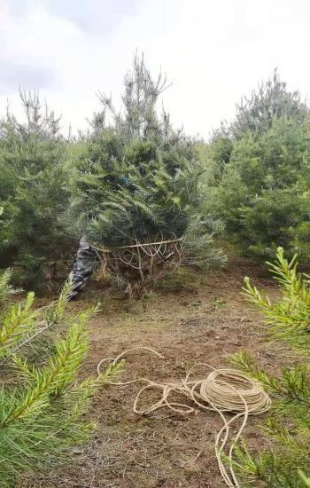 3米白皮松苗木