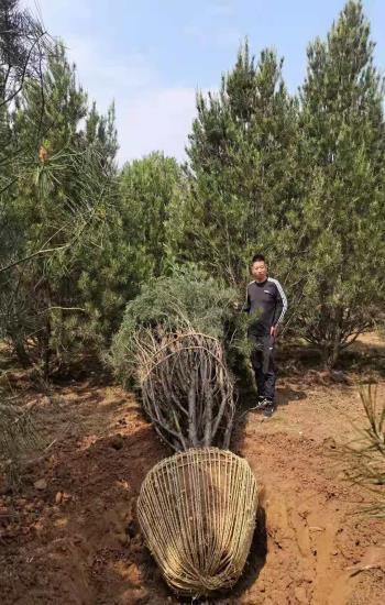 两米白皮松苗木