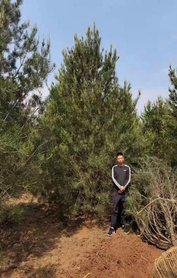 3.5米白皮松苗木