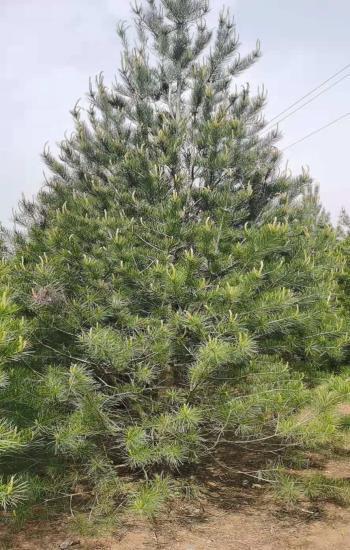 4.5米白皮松苗木