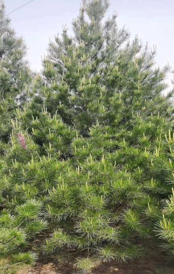 5米白皮松苗木
