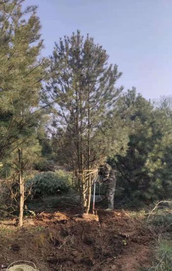 5.5米白皮松苗木