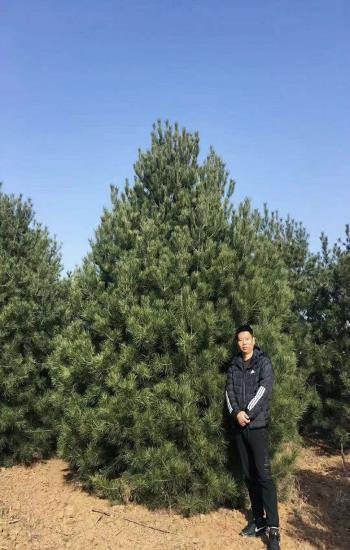 6米白皮松苗木