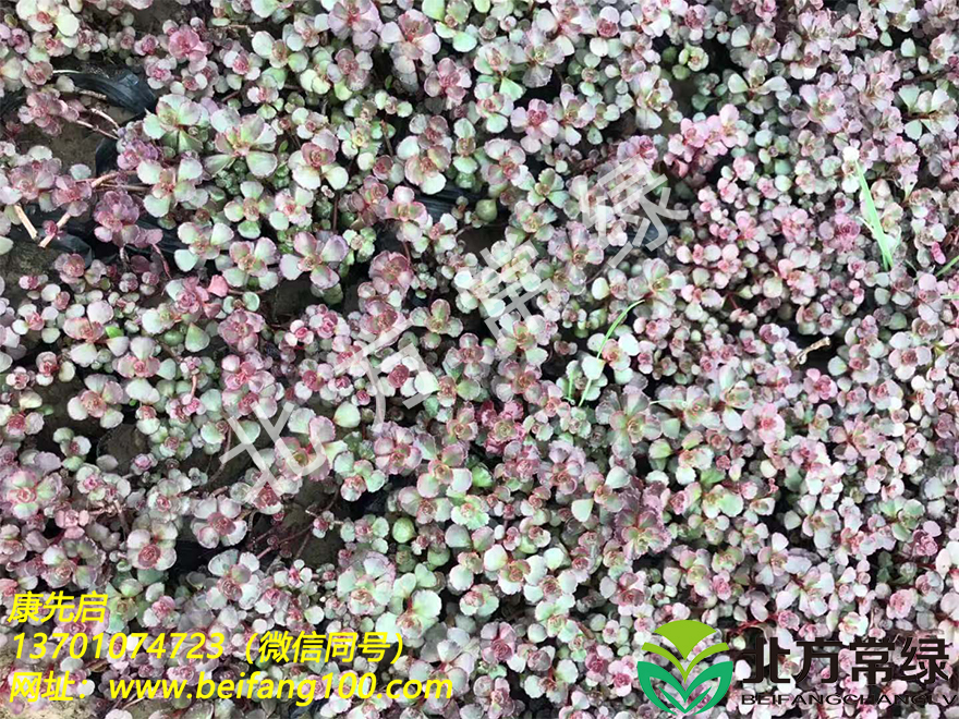 胭脂红景天种子批发推荐北方常绿草坪