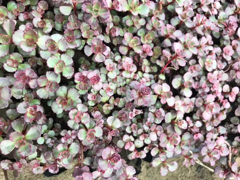 胭脂红景天种植的七点优势