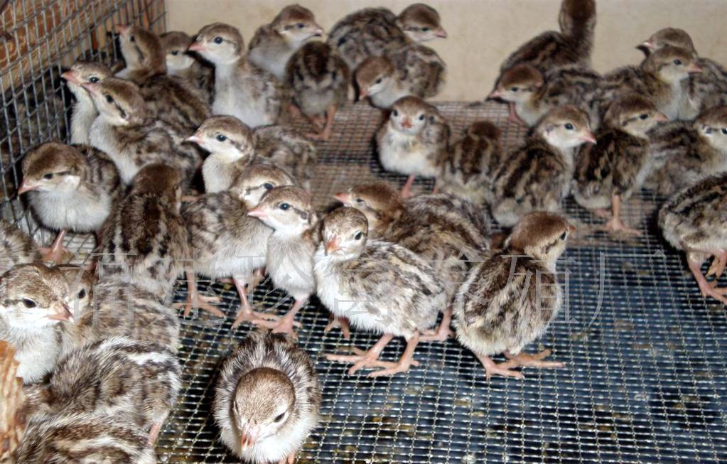 鹧鸪苗养殖方法提高鹧鸪苗成活率
