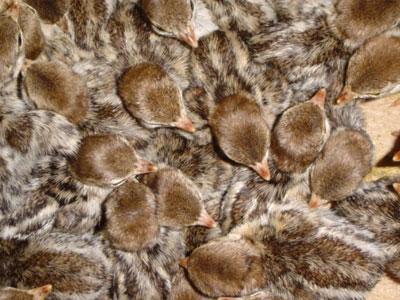 鹧鸪种蛋的孵化湿度稍高于家鸡