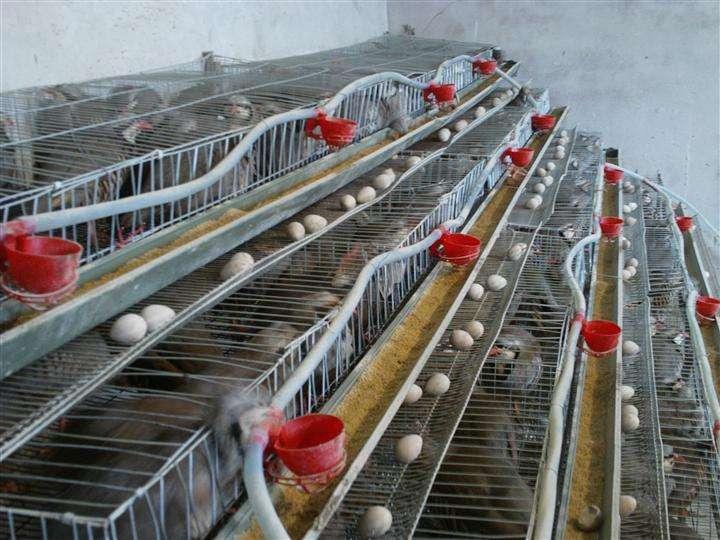肉用鹧鸪的育肥饲养为了更早地上市销售
