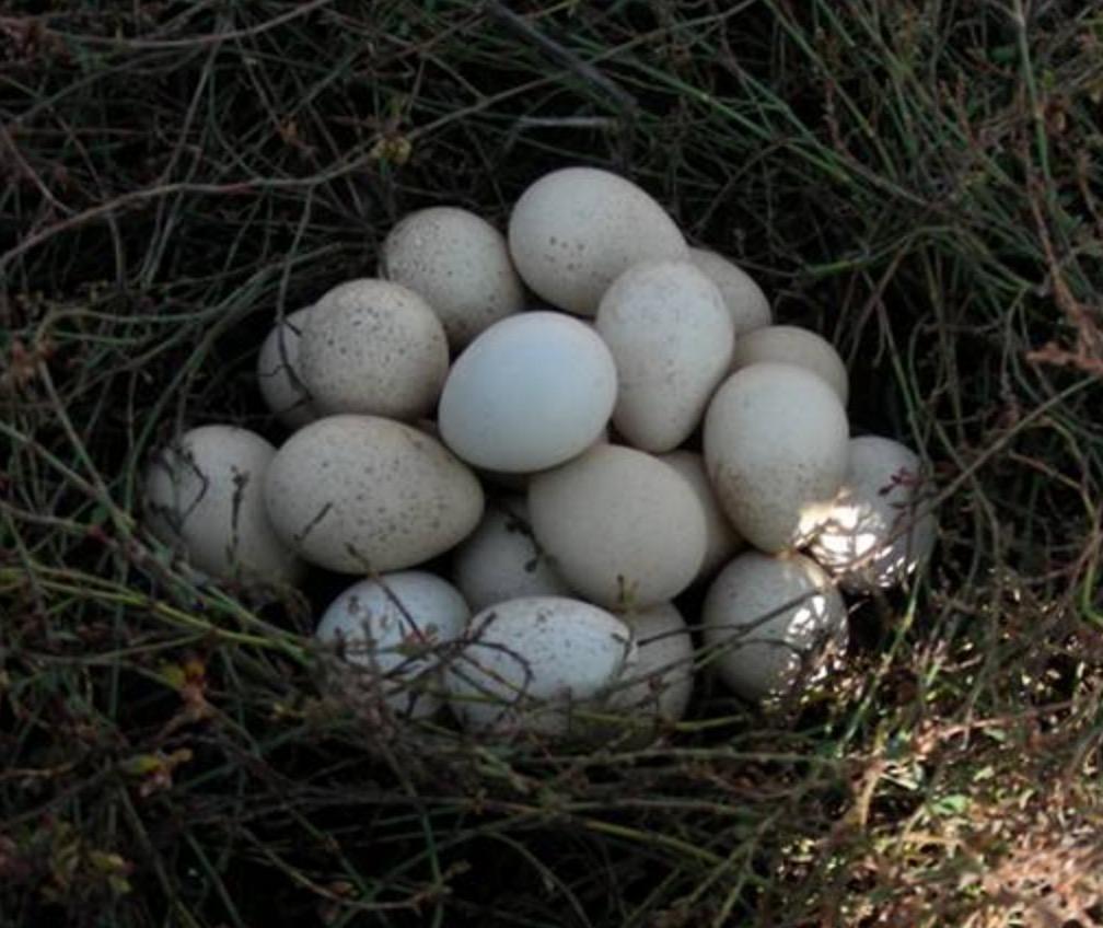 鹧鸪蛋已经成为婴妇儿童都市白领的首选食品