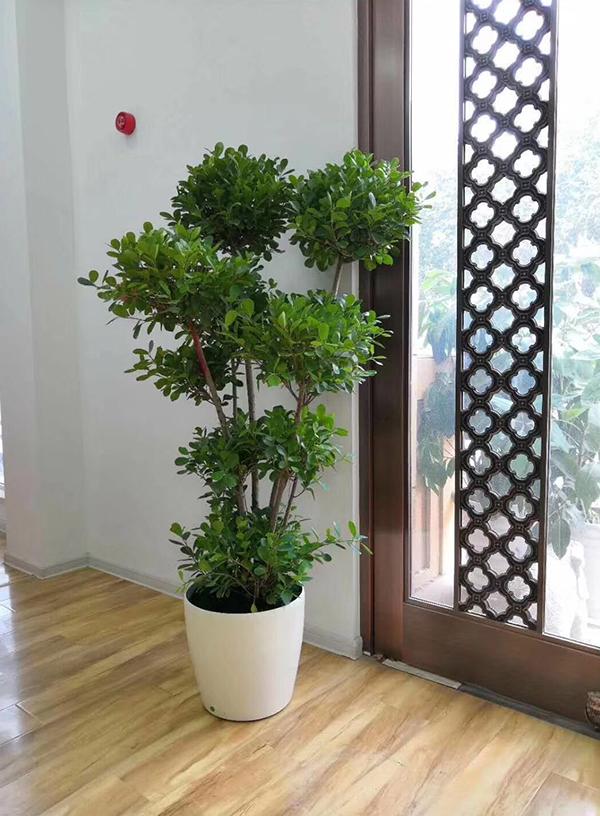 大型绿植-金钱榕