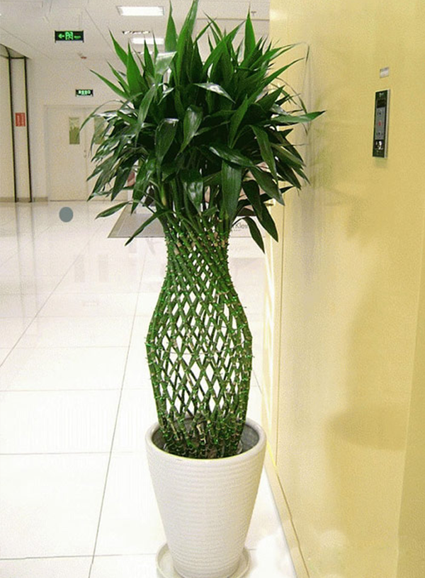 大型绿植-富贵竹笼