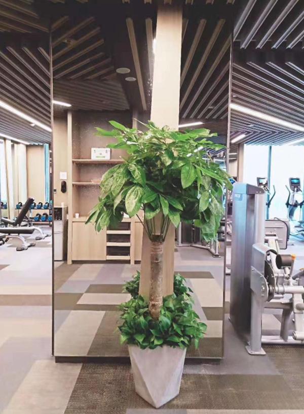 大型绿植-单杆发财树