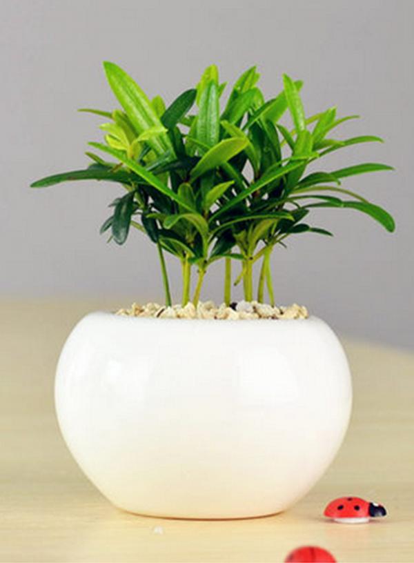 小型绿植-小罗汉松