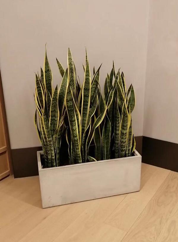 中型绿植-虎皮兰