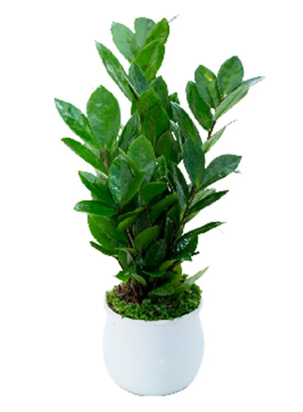 小型绿植-小金钱树