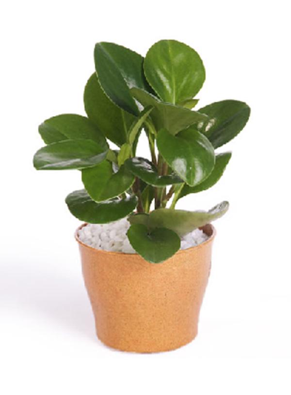 小型绿植--小碧玉