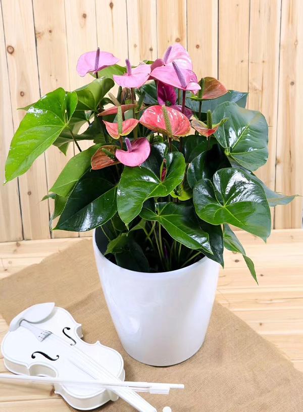 花卉租赁-粉掌