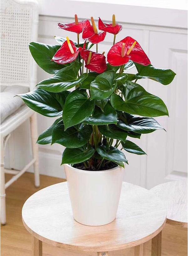 花卉租赁-红掌