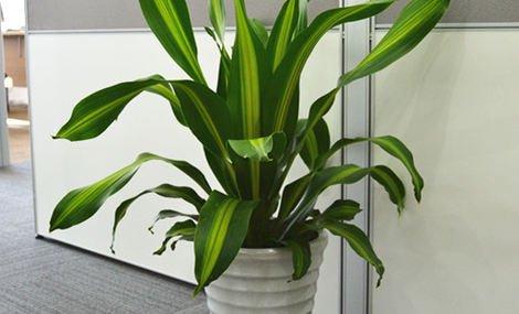青岛绿植租赁厂家带您了解哪些绿植适合上班族选择
