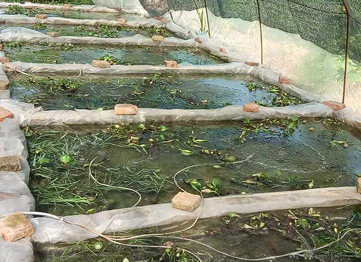 南充牛蛙苗