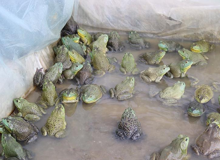眉山牛蛙苗种