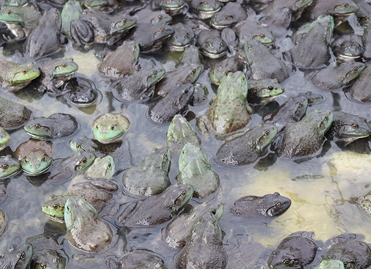 简阳牛蛙苗种