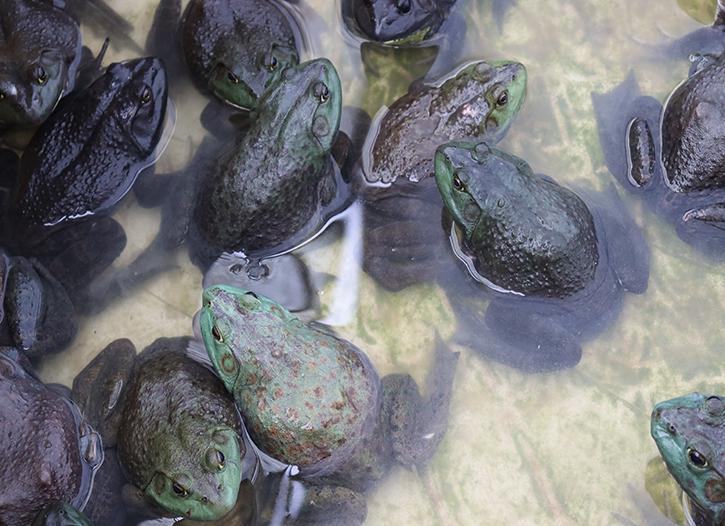 简阳牛蛙种苗