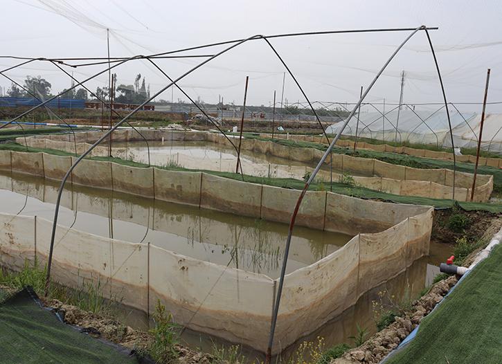 简阳牛蛙养殖户与志勤牛蛙基地负责人交流学习牛蛙苗养殖经验
