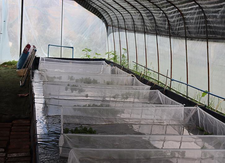 15万只牛蛙苗顺利送达遂宁牛蛙养殖户手中
