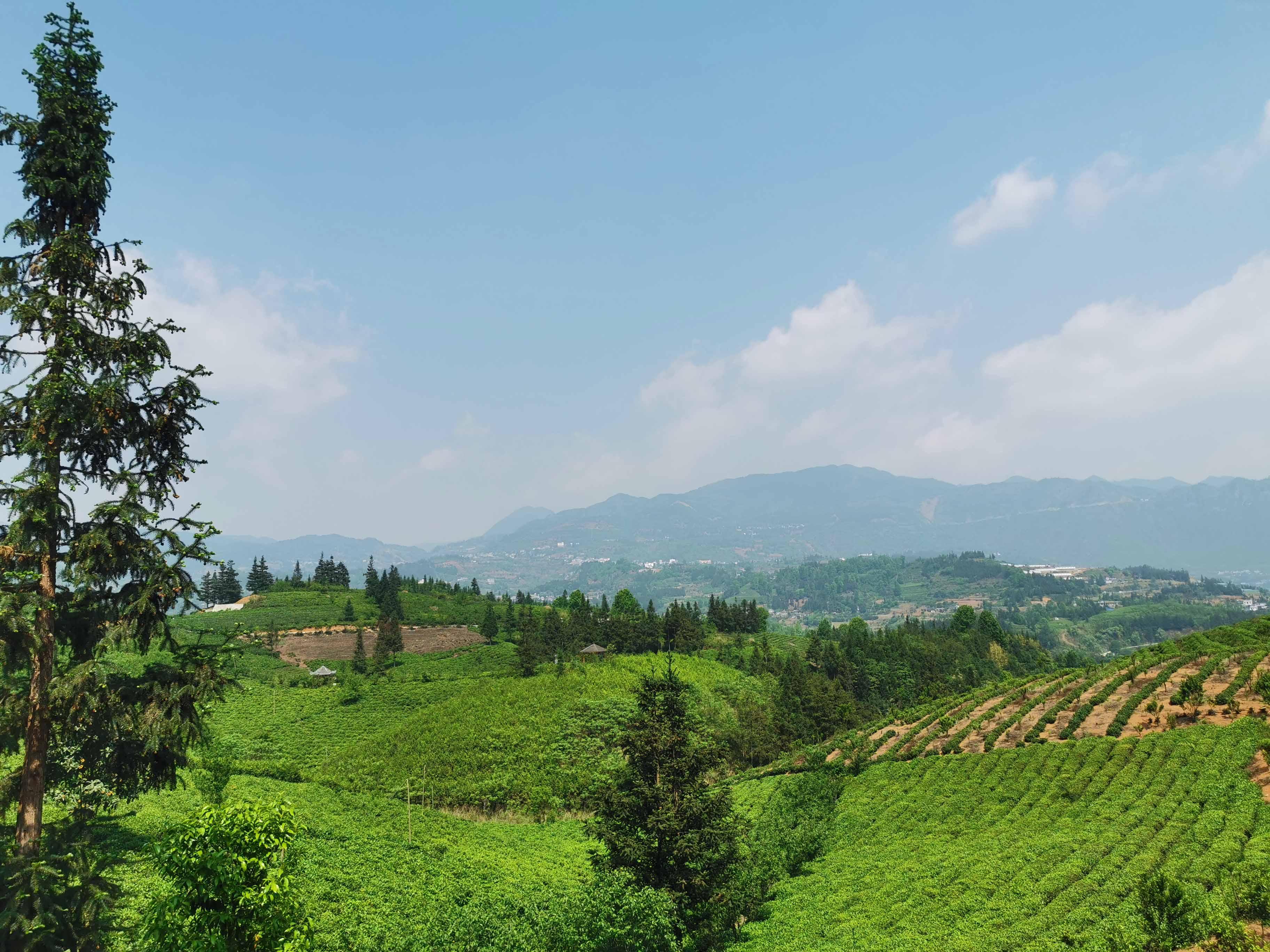 贵州茶叶生产
