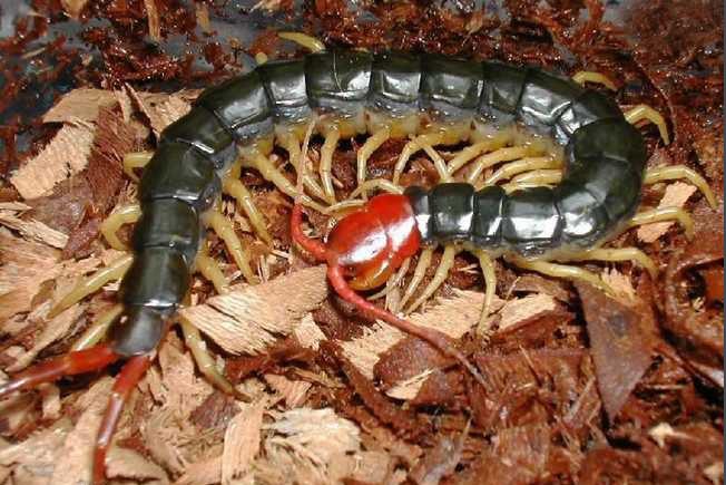湖北蜈蚣养殖厂讲解蜈蚣的功能有哪些?