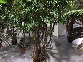 仿真榕树景观