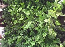 郑州垂直绿化